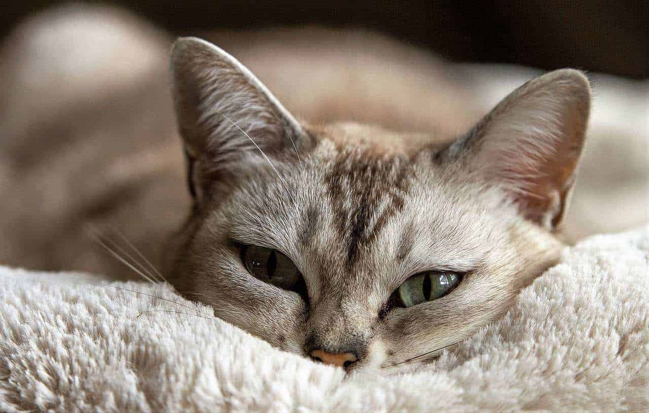 Cat Only Eyes Out Of Blanket