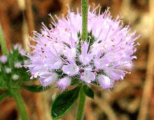 pennyroyal_flower