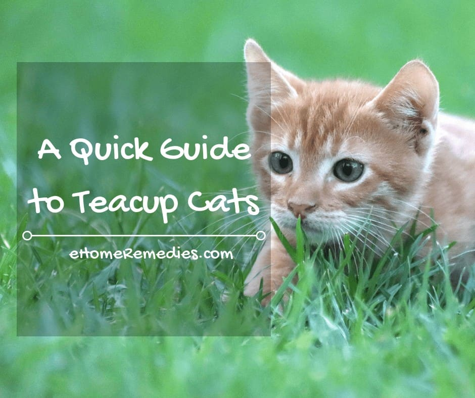 A Quick Guide to Teacup Cats