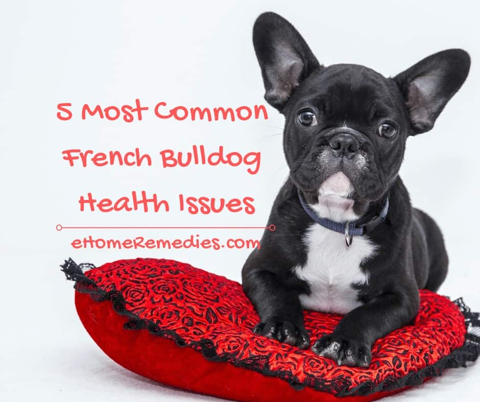 5 Most Common French Bulldog Health Issues