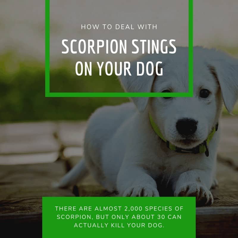 How to Deal With Scorpion Stings On Your Dog