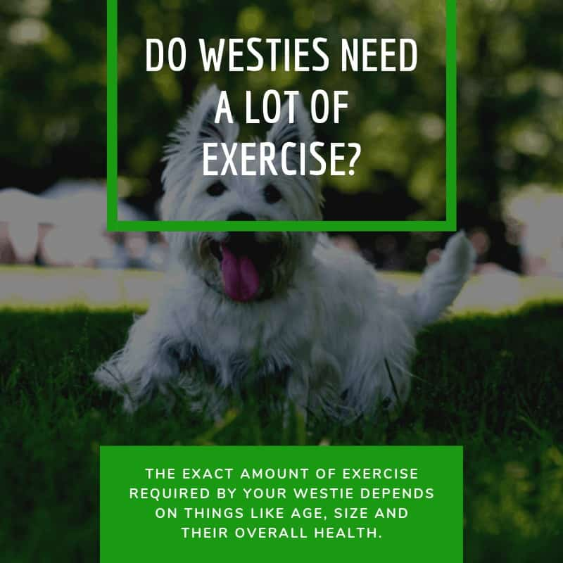 DO WESTIES NEED A LOT OF EXERCISE_