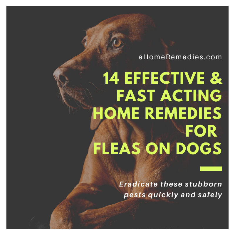 14 Effective and Fast Acting Home Remedies for Fleas on Dogs