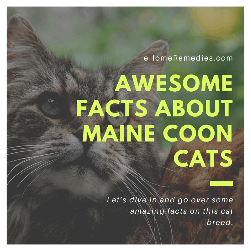 Awesome Facts About Maine Coon Cats